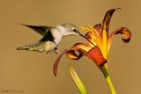 Female Hummingbird tip toes flower