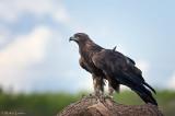 Golden Eagle stoic pose