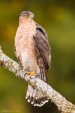 Coopers Hawk on lichen stick