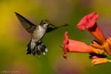 Ruby Throated Hummingbird (Juvenile male)