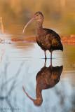 White faced ibis reflection