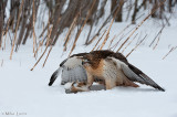 Red Tailed Hawk over prey