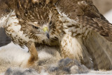 Redtail in tight on prey
