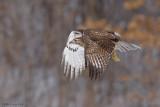 Redtail snow flight