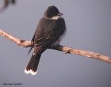 Tyran tritri - 2008 - Eastern Kingbird