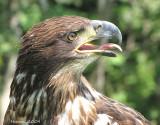 Union québécoise de réhabilitation des oiseaux de proie(U.Q.R.O.P)