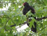 Urubu à tête rouge - Turkey Vulture