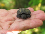 Bébé tortue - Baby turtle