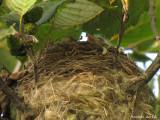 Bébé Chardonneret jaune - Baby American Goldfinch
