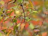 Paruline obscure - Tennessee Warbler