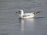 Goéland à bec cerclé - Ringed-bill Gull