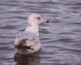 Goélands et Mouettes - Gulls