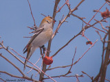 Durbec des sapins - L'heure du lunch - Lunchtime for a Pine Grosbeak