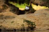 Dipper - Waterspreeuw