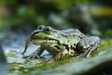 Green Frog - Groene kikker