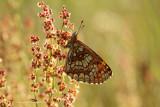 Bosparelmoervlinder - Heath Fritillary