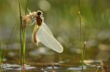 Noordse Witsnuitlibel - Northern White-faced Darter