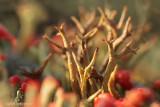 Varkenspootje - Cladonia crispata