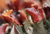 Lichens - Korstmossen