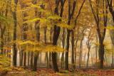 Old Beech forest - Oud Beukenbos