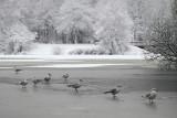 Black-Headed Gull - Kokmeeuw