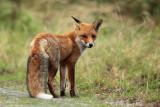 Rode vos - Red Fox