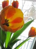 Tulips & Snow