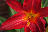 Day Lily #1