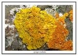 Xanthoria parietina - golden shield lichen ( Gaspésie )