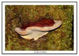 Polypore pinicole - Fomitopsis pinicola
