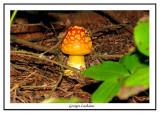 Amanite tue-mouches - Amanita muscaria