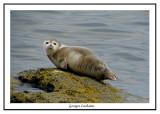 Jeune phoque