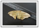 6982 – Arpenteuse traverse de l'érable – Prochoerodes lineola