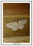 6597 - Ectropis crepuscularia