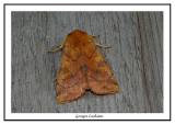 9549 - Noctuelle décolorée - Enargia decolor
