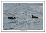Arlequins plongeurs