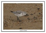 Bécasseau sanderling - Calidris alba ( Kill devil hills )