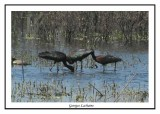 Ibis falcinelle - Plegadis falcinellelus ( Mattamuskeet NWR )