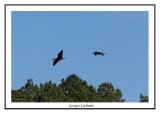 Ibis falcinelle - Plegadis falcinellelus ( Chincoteaque NWR )