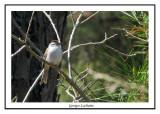 Bruant familier - Spizella passerina ( Chincoteaque NWR )