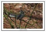 Gobemoucheron gris-bleu - Polioptila caerulea ( Chincoteaque NWR )