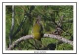 Paruline des pins - Dendroica pinus ( Chincoteaque NWR )