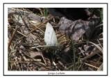 Pieris rapae - Cabage white ( Bombay Hook NWR )