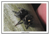 Phidippus audax - Bold Jumping Spider  ( Nags Head Woods )