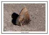 Callophrys henrici - Henrys elfin  ( Nags Head Woods )