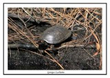 Tortue ponctuée - Clemmys guttata ( Palmetto peartree preserve )
