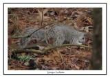 Delmarva Peninsula Fox squirrel - Sciurus niger cinereus  ( Chincoteaque NWR )