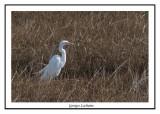Grande Aigrette - Ardea alba ( Bombay Hook NWR )