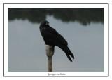 Corneille de rivage - Corvus ossifragus ( Chincoteaque NWR )