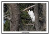 Grande Aigrette - Ardea alba ( Chincoteaque NWR )